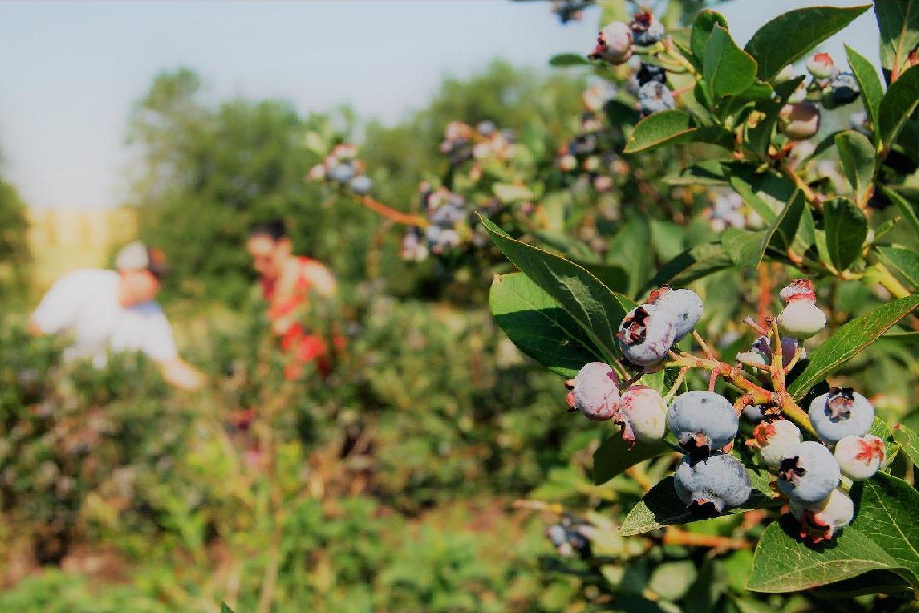 Tri-County Farm Fresh Produce U-Pick